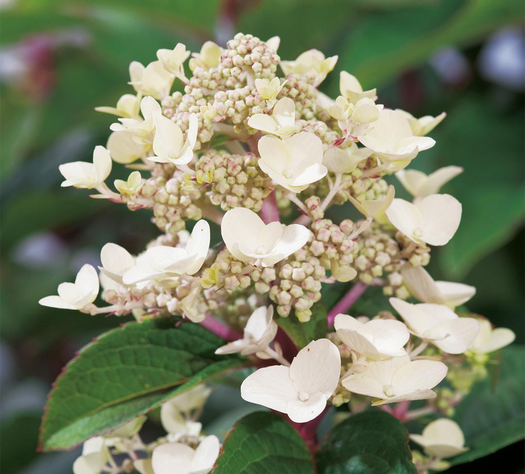 Hydrangea paniculata Wim's Redⓢ
