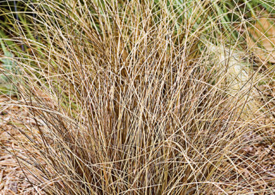 Carex comans Bronce Form