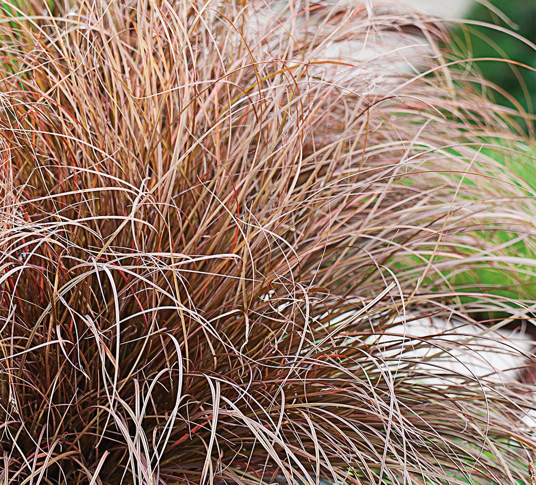 Carex petriei Milk Chocolate