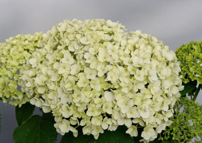 Hydrangea arborescens Strong Annabelle®