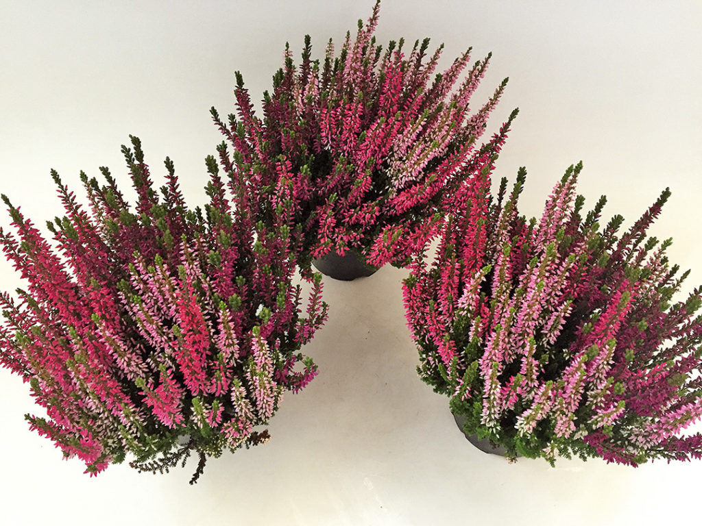 Calluna Trio Wildberry