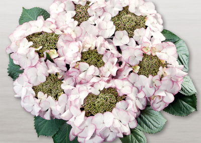 Hortensia Charm