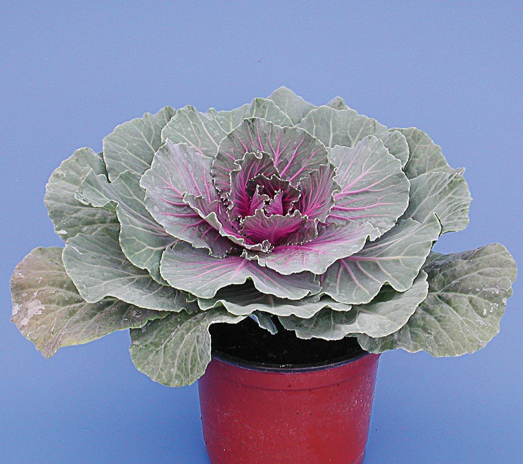 Brassica oleracea frisé ou lisse