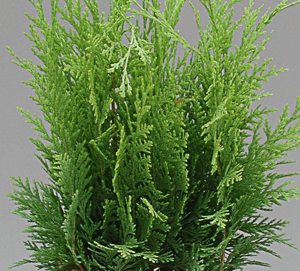 Conifères mix Juniperus et Thuja