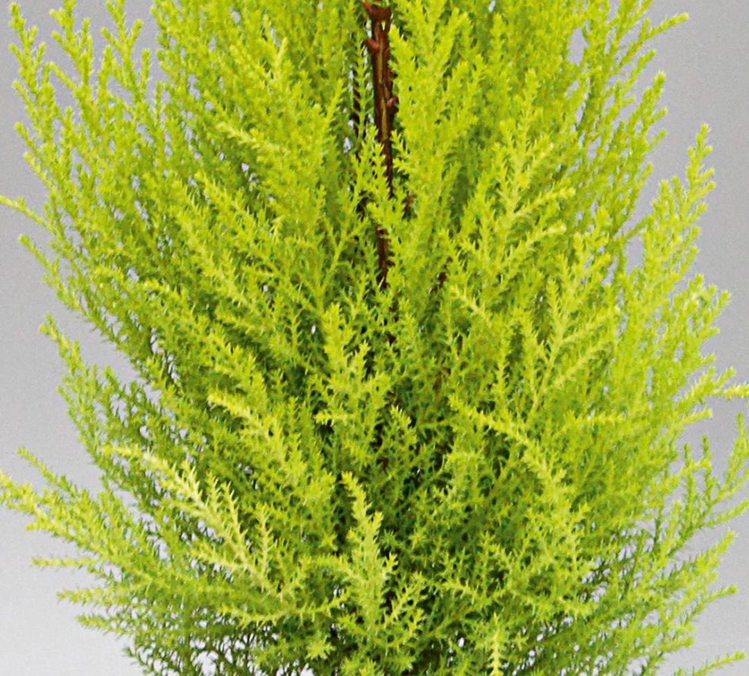 Cupressus macrocarpa Goldcrest ou Wilma