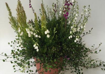 Daboecia – Erica arborea mix
