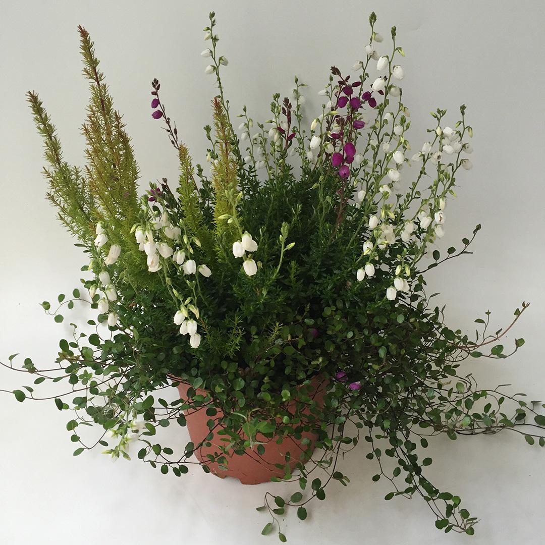Daboecia - Erica arborea mix