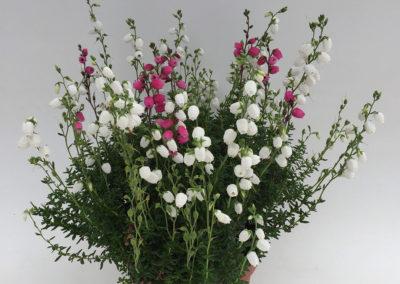 Daboecia cantabrica bicolore