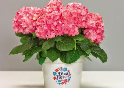 Hortensia remontant Diva fiore®