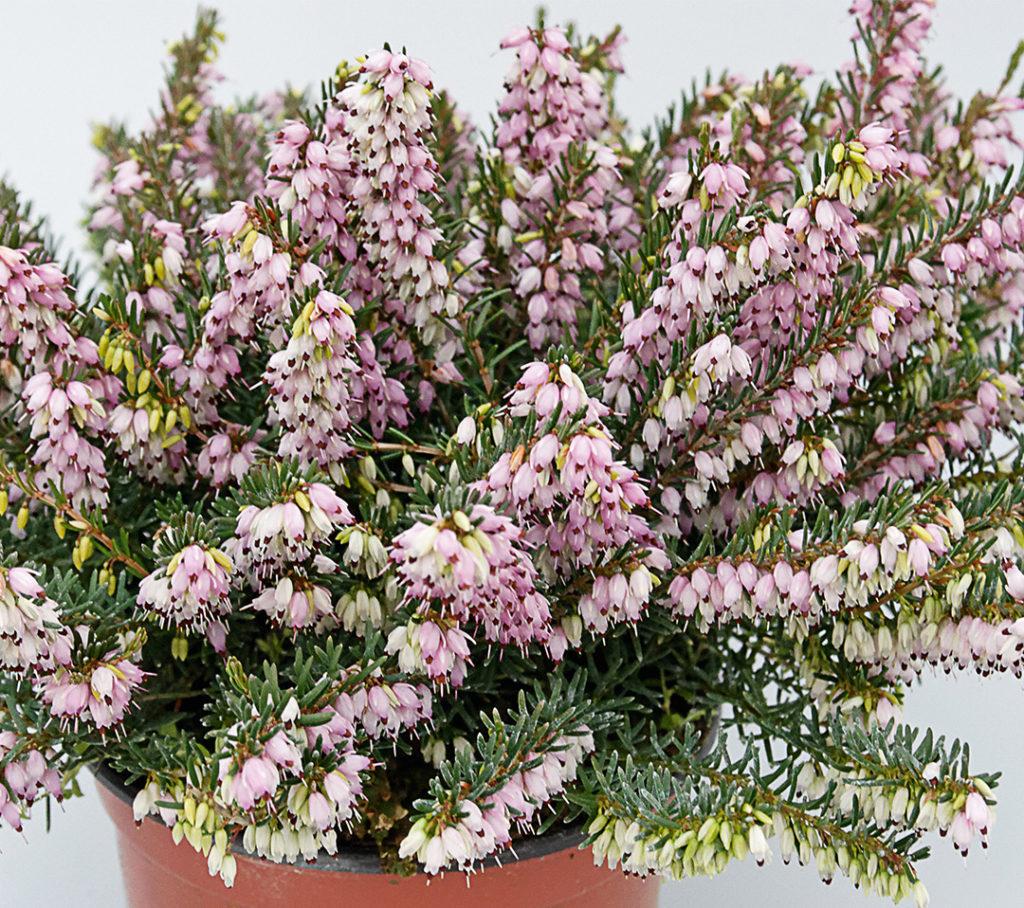 Erica x darleyensis rose