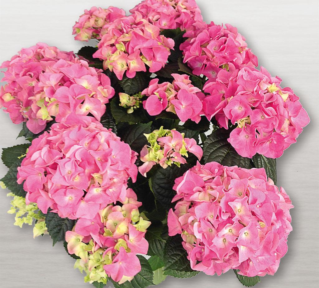 Hortensia Early® Rosa