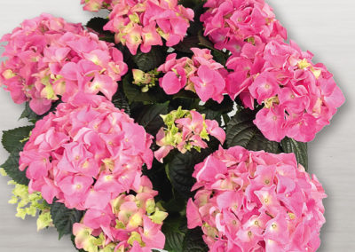 Hortensia Early® Rosa