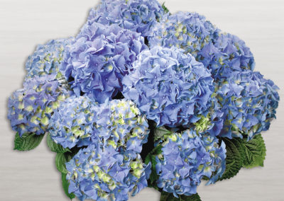Hortensia Early® Blue
