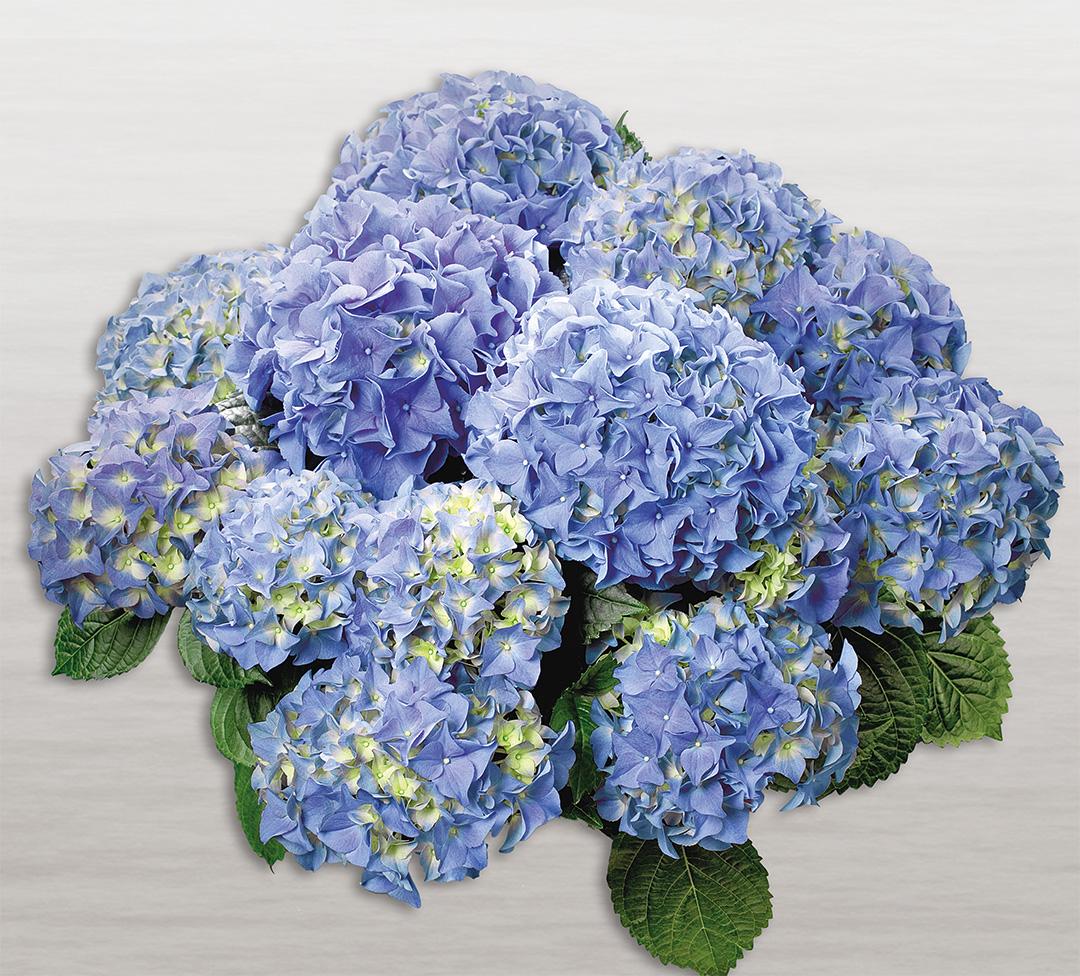 Hortensia Early® Blue