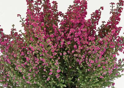 Erica gracilis WFW