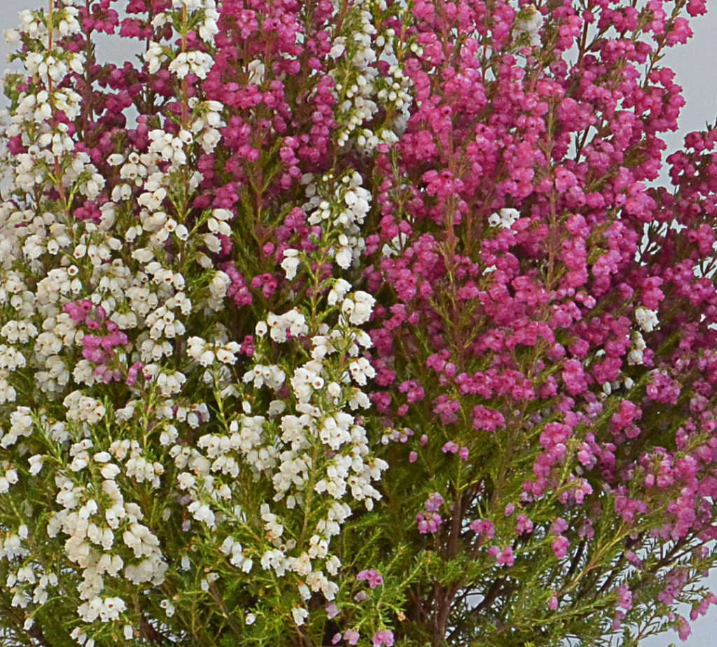 Erica gracilis bicolore