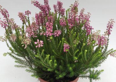 Erica spiculifolia