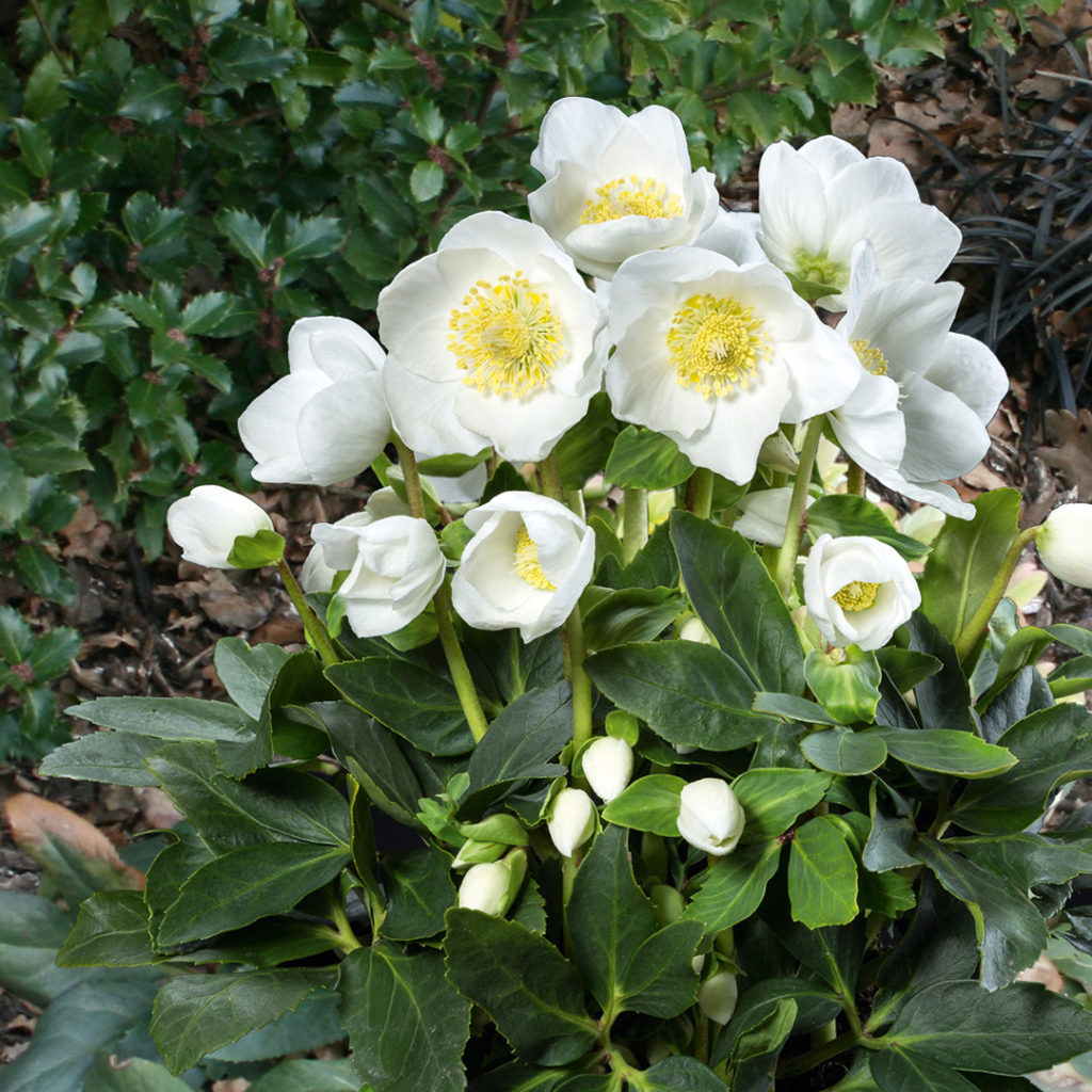 Helleborus Gold Collection Jericho®