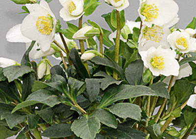 Helleborus Gold Collection Joel®