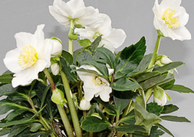 Helleborus Gold Collection Jonas®