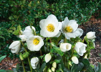 Helleborus Gold Collection Jasper®
