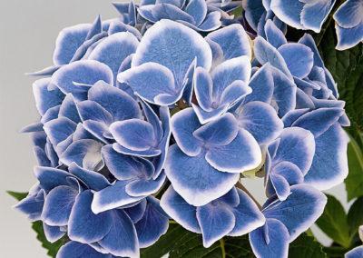 Hortensia Tivoli Blue