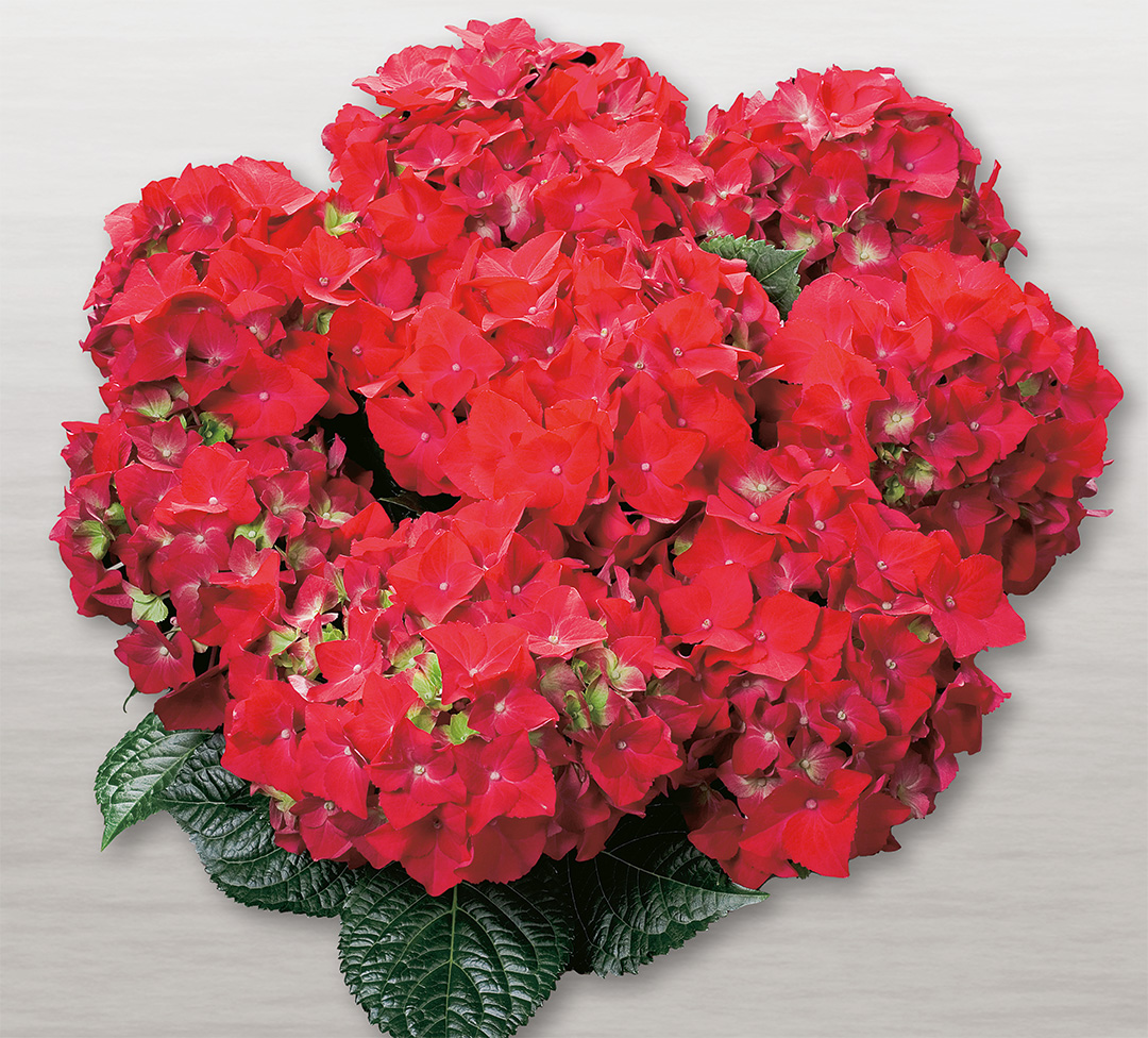 Hortensia Hot Red