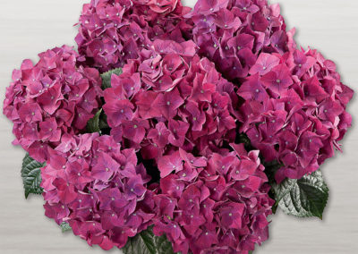 Hortensia Hot Red Lila