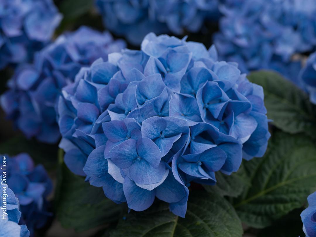 Hortensia remontant Diva fiore® Bleu