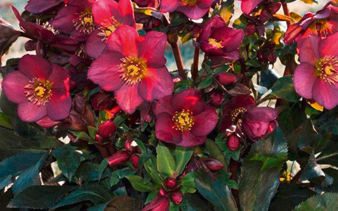 Helleborus HGC® Ice N'Roses® Red
