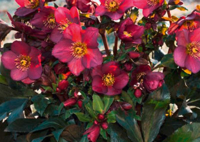 Helleborus HGC® Ice N'Roses® Red