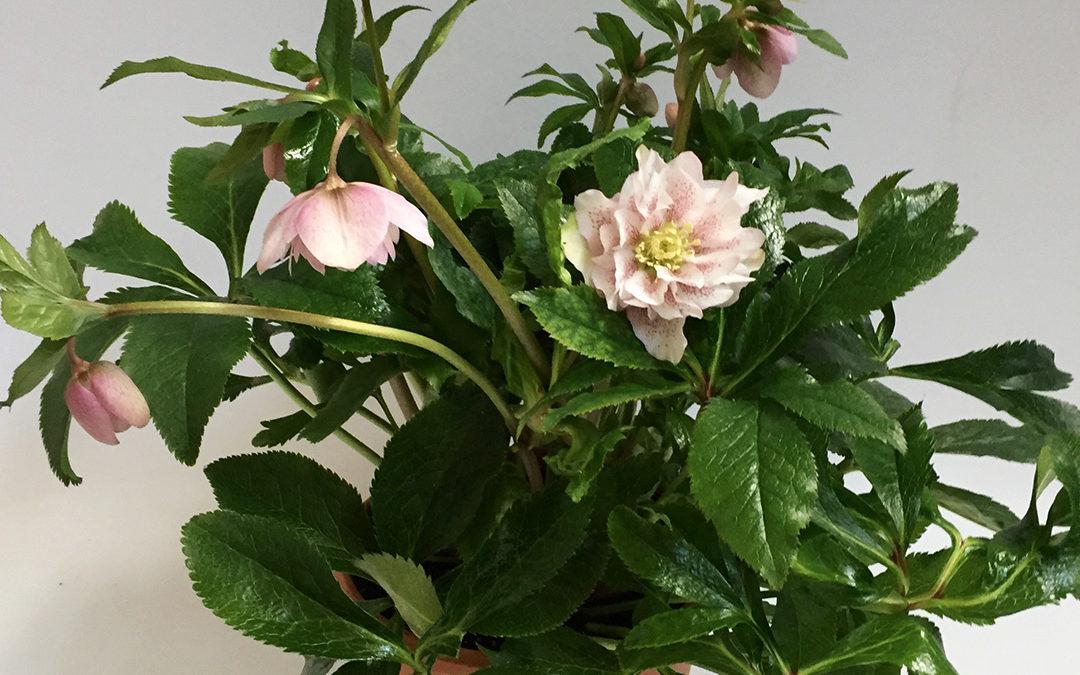 Helleborus orientalis Phoebe