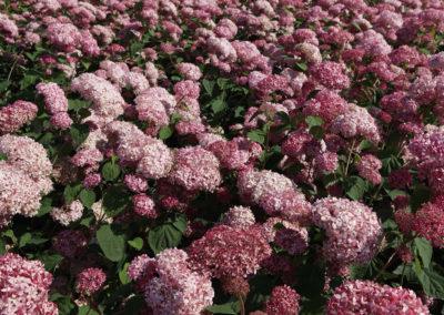 Hydrangea Arborescens Pink Annabelle®