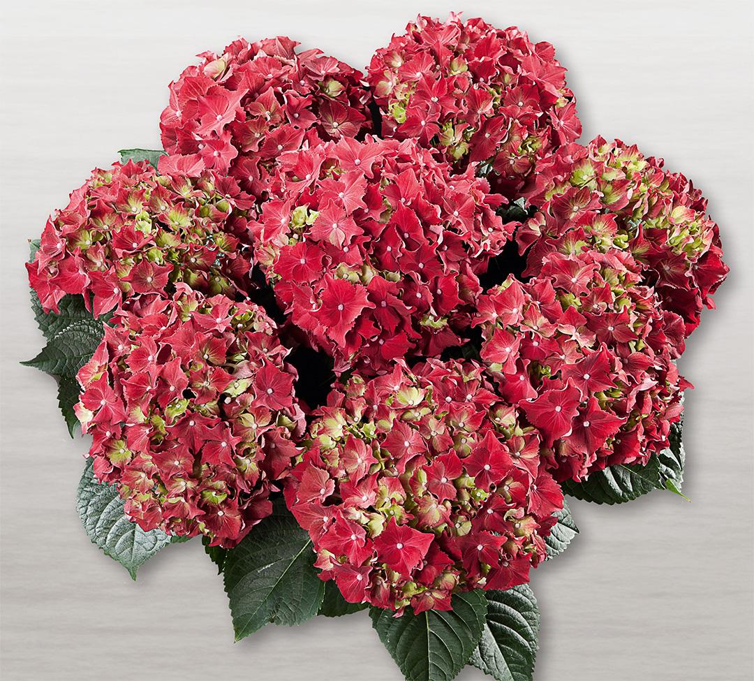 Hortensia Royal Red