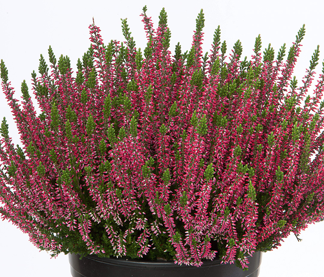 Calluna Beauty Ladies Sabine