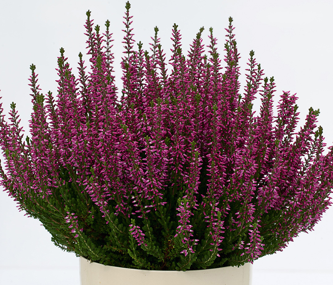 Calluna Beauty Ladies Saphira