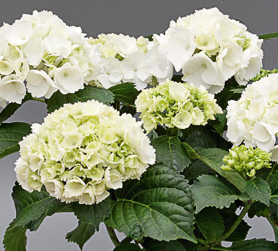 Hortensia Saxon® Schneeball
