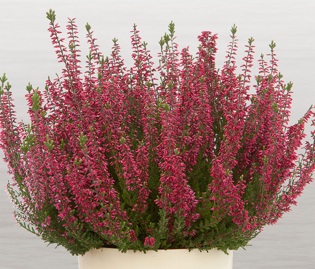 Calluna Beauty Ladies Selly