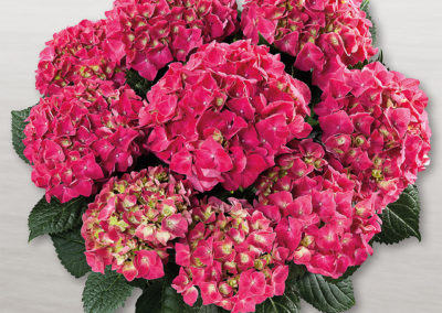 Hortensia Speedy Red