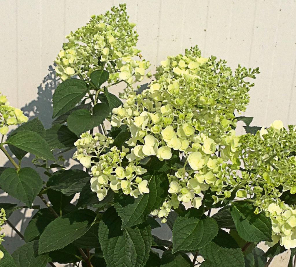 Hydrangea paniculata Sundae Fraise®