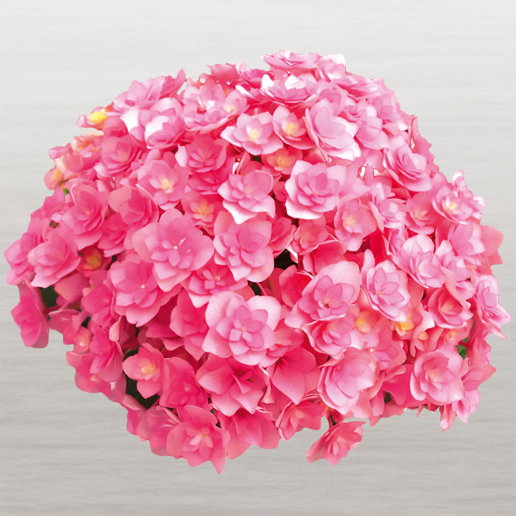 Hortensia You&Me Together®