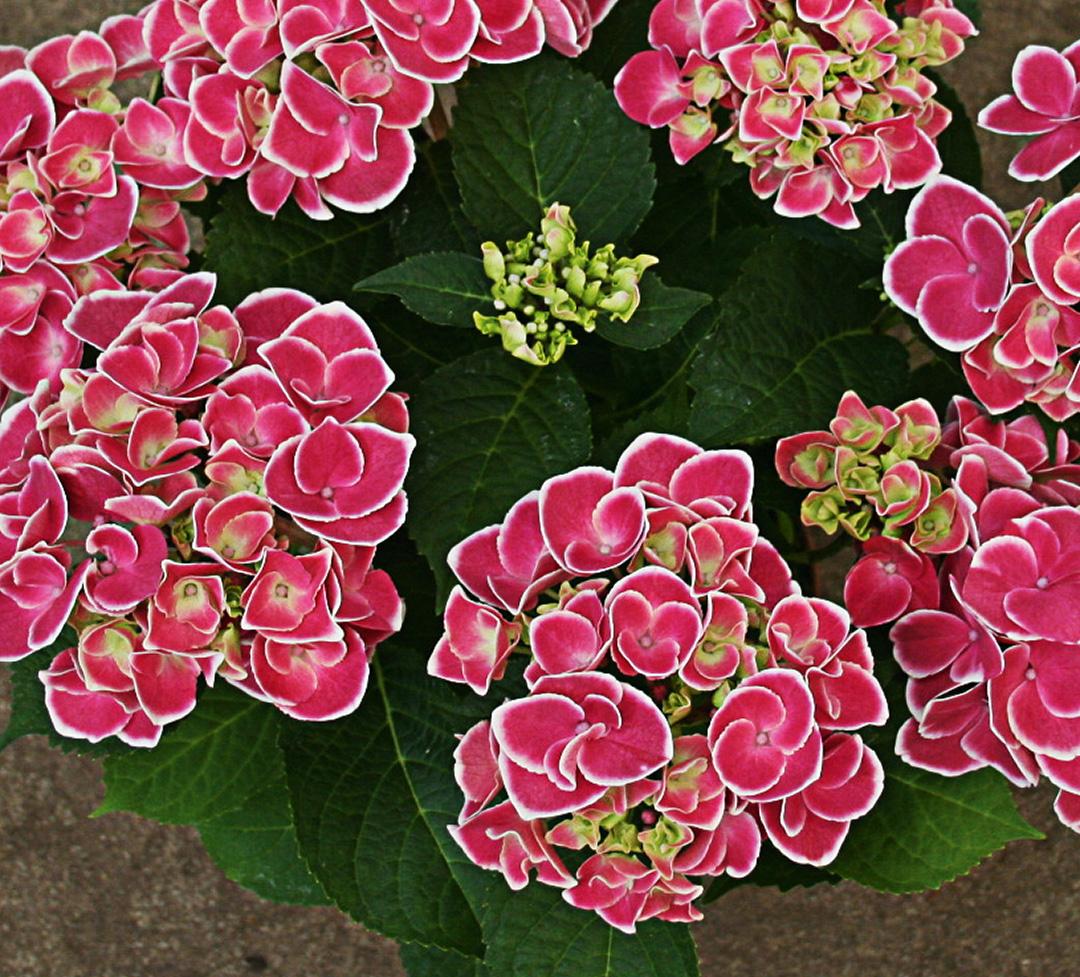 Hortensia Tivoli Pink