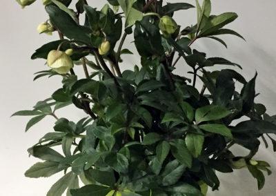 Helleborus sahinii Winterbells