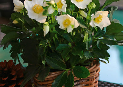 Helleborus Gold Collection Wintergold®