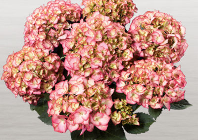 Hortensia Adula Rose