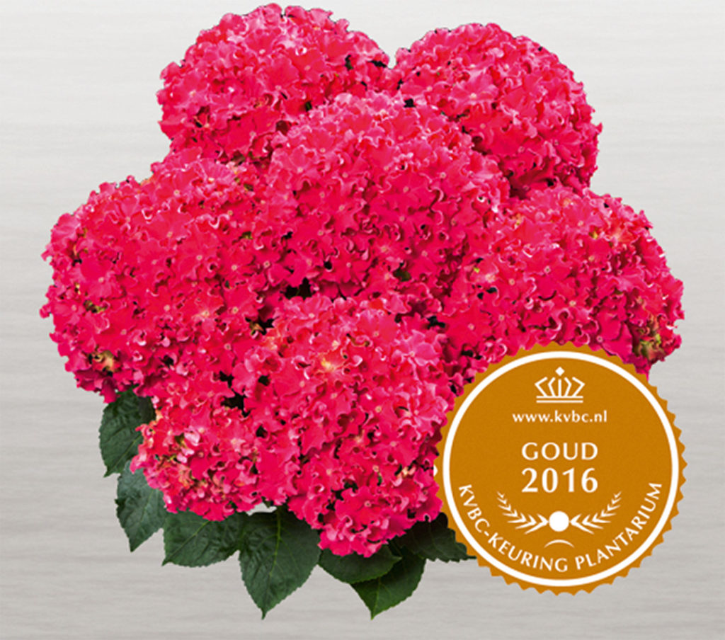 Hortensia Curly Sparkle Red