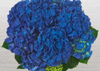 Hortensia Jip Blue