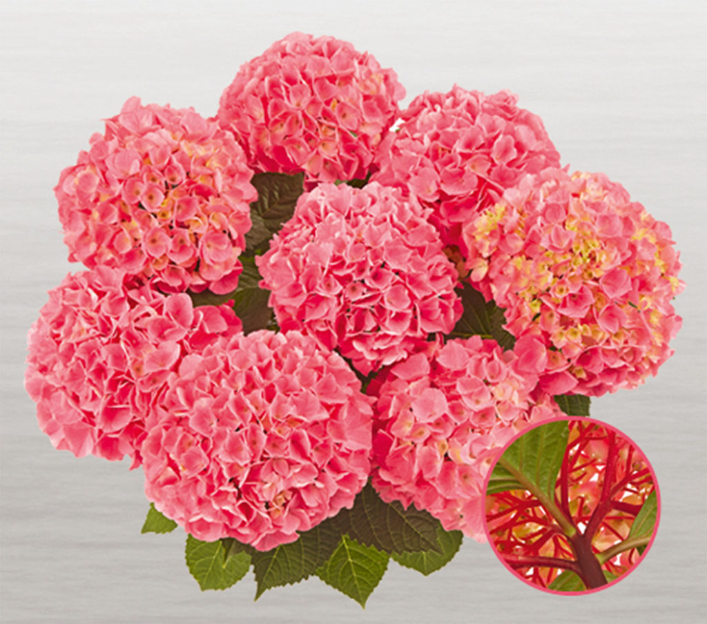 Hortensia Saxon® Style Pink