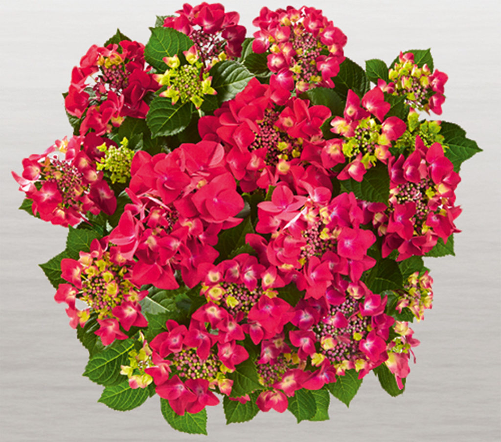 Hortensia Frisbee® Hot Pink