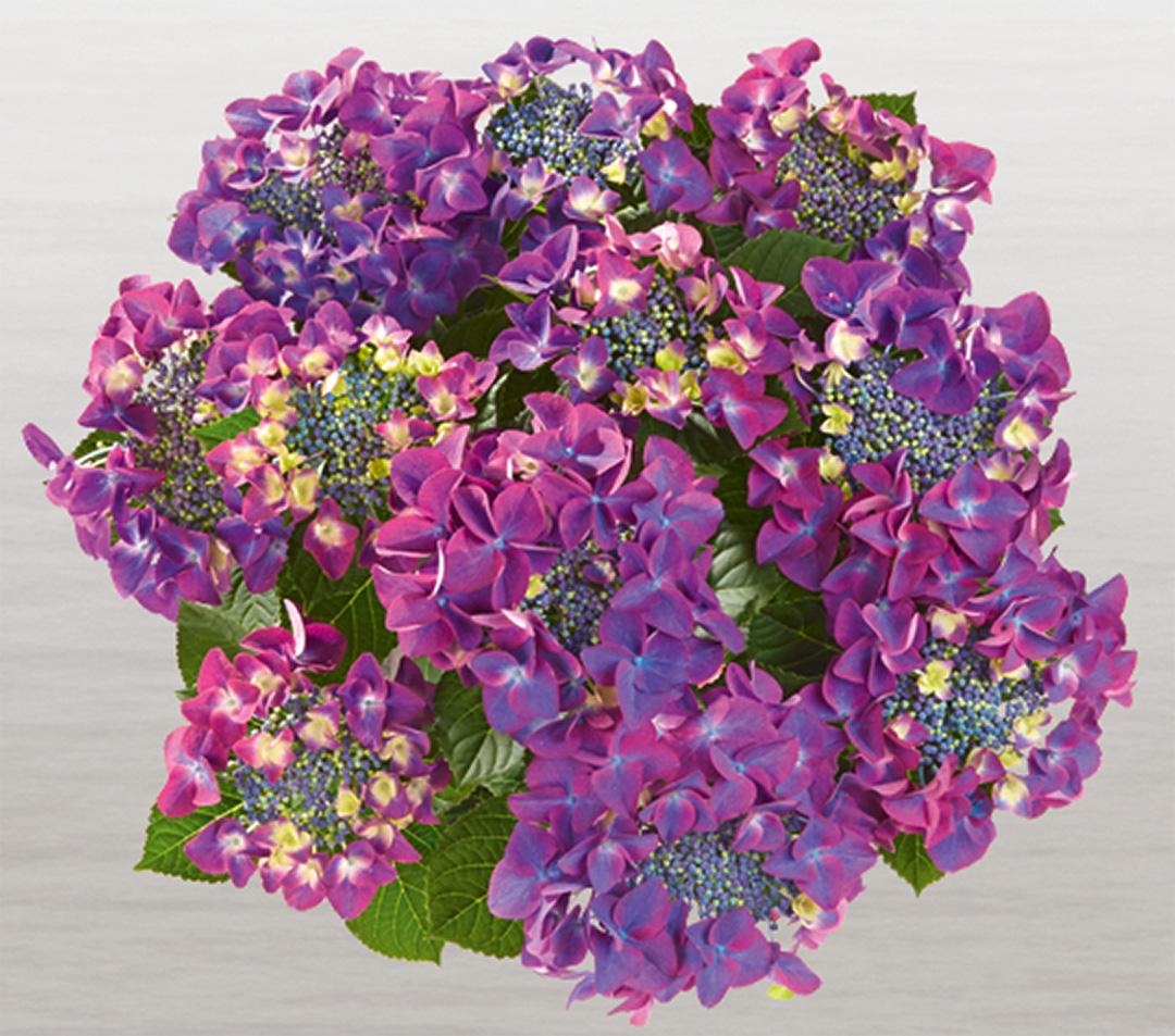 Hortensia Frisbee® Purple